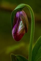 Houdek Dunes Slippers (pixquik) Tags: ladysslipper pinks pinkladysslipper flowerbud green leelanaupeninsula houdekdunes