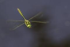 Brilliant Emerald Dragonfly (PINNACLE PHOTO) Tags: dragonfly inflight flying brilliantemerad somatochlorametallica metalic green shiny wings insect fast water pond surrey canon 300mmf4 martinbillard