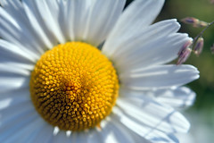 Morning Sun (Metse) Tags: leucanthemum vulgare daisy marguerite macro flower
