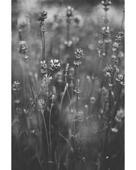 Nature in Black and White (freyavev) Tags: nature blackandwhite bw lavender flowers monochrome belgrade beograd serbia srbija botanicalgarden botanickabasta jevremovac moody frame grain vsco canon canon700d niftyfifty mikasniftyfifty 50mm vertical