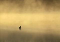 Enjoying Daybreak (peterwaller) Tags: bird gull seagull morning daybreak sun sunshine mist haze fog littleriverreservoir saintjohn newbrunswick nb canada lake water calm landscape