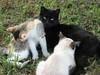 IMG_7573 (Dee Pix) Tags: snuggles bumpy farmcats cats kittens blackcats june2017