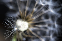 Make a wish... (shannon_blueswf) Tags: dandelion seed flower nikon nikond3300 nikonphotography macro wish