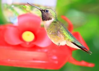 ruby-throated hummingbird male at Lake Meyer Park IA 854A4843