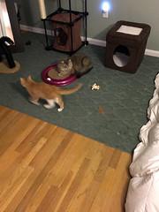 iPhone 3971 (mary2678) Tags: tewksbury massachusetts ma kitty kitten cat maine coon chele kvothe