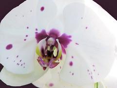 Dotted with Purple (Cher12861 (Cheryl Kelly on ipernity)) Tags: 2017springorchidshow chicagobotanicgarden purpledottedwhiteorchid closeup macro flower bloom blossom photoshoppedtoenhancebackground orchid
