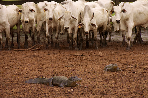 brazil-pantanal-caiman-lodge-cattle-meets-wildlife-copyright-thomas-power-pura-aventura.jpg