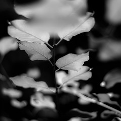 Across Forest Floors 012 (noahbw) Tags: d5000 dof nikon oldschoolforestpreserve abstract blackwhite blackandwhite blur bw depthoffield forest leaves light monochrome natural noahbw square woods