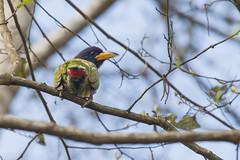 Barbudo Grande (ik_kil) Tags: barbet barbudogrande greatbarbet megalaimavirens nagarkot kathmanduvalley kathmandu birdsofnepal birds nepal psilopogonvirens