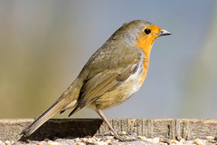 Robin (Riley_123) Tags: robin red breast hatfield moor yorkshire england a6000 vivtar 135mm