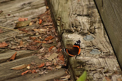 Red Admiral Butterfly (turn off your computer and go outside) Tags: 2017 albanywildlifearea butterfliesofthemidwestbyjaretcdaniels greencounty june redadmiral sugarriverstatetrail wi wisconsin butteryfly critter identified insect latespring nature niceweather outdoors partlycloudy