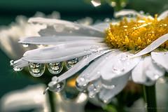 Serendipity daisy ... (Jackie L Matthews) Tags: green serendipity daisy raynox raynox250 macro waterdroplets summer