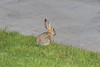 Desert Cottontail (Charlie Lee.) Tags: southerncalifornia california socal westcoast unitedstatesofamerica usa northamerica 미국 미국서부 캘리포니아 캘리포니아주 irvine 얼바인 orangecounty 오렌지카운티 desertcottontail cottontail rabbit 토끼