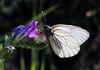 Aporia crataegi (leugiMJ) Tags: mariposa butterfly aporia crataegi