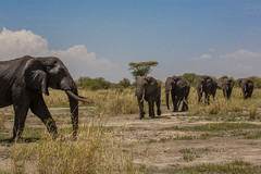 Which way did you go? (Ring a Ding Ding) Tags: 2017 africa animal elephant littlechemchem loxodontaafricana tanzania tarangire action dynamictension ears formation herd line male nature outdoor safari tusks walking wildlife manyararegion coth coth5