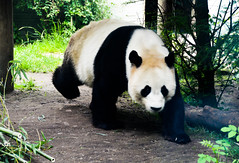 Giant Panda (Ailuropoda melanoleuca) (Seventh Heaven Photography) Tags: giant panda yang guang sunshine ailuropodamelanoleuca ailuropoda melanoleuca edinburgh zoo black white animal mammal chinese bear ursidae bamboo scotland sichuan shaanxi gansu outside outdoor