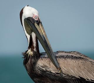 Brown Pelican, Pinellas County, FL [Explore 24 June 2017]