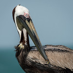 Brown Pelican, Pinellas County, FL thumbnail