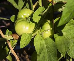 Garden Tomatoes Lycopersicon esculentum_5927 (Alice & Seig) Tags: va williamsburgarea 4021 plants solanales potatosolanaceae flickr asteridae