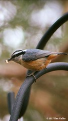 © Dan Gulley (WBU Barrie) Tags: wildbirdsunlimited wbubarrie barrie birds birding birdfeeding backyardbirds backyardbird birdfeeders simcoecounty ontario canada nature wildlife mealworm insect redbreasted nuthatch