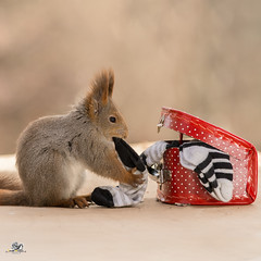 putting on socks (Geert Weggen) Tags: red nature animal squirrel rodent mammal cute look closeup stand funny bright sun backlight travel departure leave missed rise ballast holiday journey trip tour transport egg easter suitcase trunk coffer box chest cloth clothe changeclothes dirtyclothes clothing clothes dress outfit socks fit geert weggen bispgården sweden jämtland ragunda geertweggen