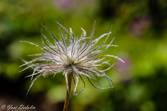 Desperately need hairdresser to give me new style... (Yuri Dedulin) Tags: 2017 arboretum closeup dedulin flora flowers frelinghuysen morristown nj nature newjersey outdoors plants summer yuridedulin beautiful blossom macro macroflowerlovers minimalism petal bokeh