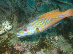 Mr Cuckoo (roger_forster) Tags: labrusmixtus cuckoo wrasse fish male underwater diving scuba eddystone lighthouse devon cornwall plymouth wild maidmaggie2