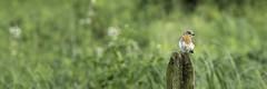 Eastern Bluebird (apdeshpande) Tags: bluebird bird birds beautifulbird easternbluebird thankyounature beautyinnature perching outdoors fence birdstagram picoftheday cute cutebird hinckleyreservation birdsofnature birdwatching instabird birding birdphotography wildlife bestbirdshots nutsaboutbirds birdlover birdlovers birdfreaks cropped nature mothernature