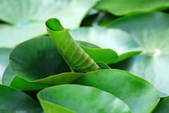 (Rosmarie Voegtli) Tags: botanischer garten münchen nymphenburg waterlily waterlilies seerosen blätter feuilles leaves shapes green