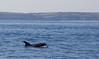 Risso's dolphin (Falmouth Bay) (Steve Balcombe) Tags: mammal cetacean rissos dolphin grampus griseus falmouth bay cornwall uk