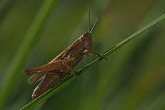 A fränkischer Grashupfer (fotouwe) Tags: grashüpfer gomphocerinae insekt heuschrecke makro nahaufnahme gras meiervision wwwmeiervisionde fotouwe omdem1markii fühler feldheuschrecke