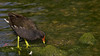 Galinha d´água / Gallinula chloropus / Common moorhen (duarterodrigues) Tags: aves bird wing asa feathers penas beak bico fly voar nikon d7000 nikkor 300mmf4 tc 14 lisboa portugal lisbon animal wildlife selvagem galinha d´água gallinula chloropus common moorhen água