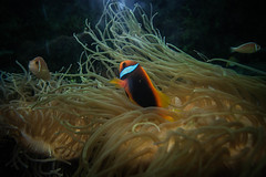 Anemone II (Josué Godoy) Tags: anemone clownfish fish pez payaso poisson clown pezpayaso poissonclown anemona australia