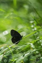 NERO (Lace1952) Tags: farfalla nero prato estate bolle orbs bokeh sfocato magia sogni panasonic lumix pancolar50mmf1 8