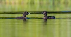 Loon Chicks! (sunrisesoup) Tags: loon chicks bc canada bird nature spring