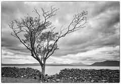Lone Tree (judepics) Tags: loch bw knoydart scotland tree wilderness blackwhite lochhourn drystoewall