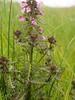 Sumpfblüten im Südermoor - Sumpf-Läusekraut (Pedicularis palustris); Norderstapel, Stapelholm (15)