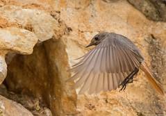 Rougequeue noir, Phoenicurus ochruros, retour au nid. .. (jymandu) Tags: