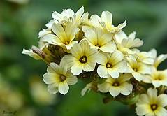 Thursday`s Flowers (Eleanor (No multiple invites please)) Tags: flowers paleyelloweyedgrass regentspark london nikond7100 june2017 a ngc