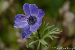 Annemoon (Chantal van Breugel) Tags: bloemen macro annemoon artis mei lente 2017 canon5dmark111 canon70300