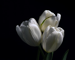 White Tulip Trio 0602 (Tjerger) Tags: nature beautiful beauty black blackbackground bloom blooming closeup flora floral flower flowers green macro petals plant portrait spring stem three trio tulip tulips white wisconsin natural