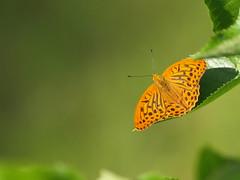 Schmetterling beim Sonnenbad (reuas ogni) Tags: schmetterling falter insekt insect butterfly olympus zuiko o isoz colors farben makro macro perlmutterfalter fritillary orange green grün