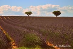 Le plateau (Florette Photographie) Tags: valensole 04 lavandes fleurs lavandin alpesdehauteprovence nikon d600 france francia sud tourisme asiatique distillerie allemagneenprovence blé paca french violet mauve landscape paysage ligne géométrie été champ lavendel lavanda lavender
