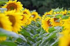 """Bain de """"Soleil"""" (Croc'odile67) Tags: nikon d3300 sigma contemporary 18200dcoshsmc fleurs flowers nature tournesol sunflower"""