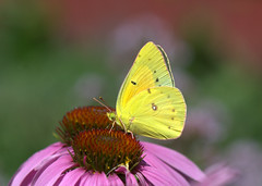 Orange Sulphur (KsCattails) Tags: botanicalgarden coneflower echinacea kscattails orange powellgardens sulphur yellow