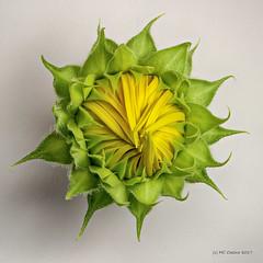 Sunflower Bud (Mark Cassino) Tags: botanical sunflower flowerbud flower pentaxk1 dfa100mmf28macro pixelshiftmode studiomacro zerenestacker