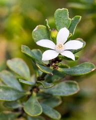 Philotheca obovalis ([S u m m i t] s c a p e) Tags: bluemountains clifftoptrack katoomba leura philothecaobovalis rutaceae nativeplants threatenedspecies white winter