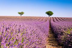 Lavande (Fréd.C) Tags: lavande midi sud provence cigale violet bleu france life lens canon