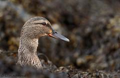 Female Mallard (cameron85) Tags: mallard duck bird wading wildlife sea coast scotland elie fife