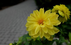 Yellow Flowers, Morton Arboretum. 50 (X70) (Mega-Magpie) Tags: fuji fujifilm x70 yellow lovely pretty flowers flower the morton arboretum lisle dupage il illinois usa america green pathway